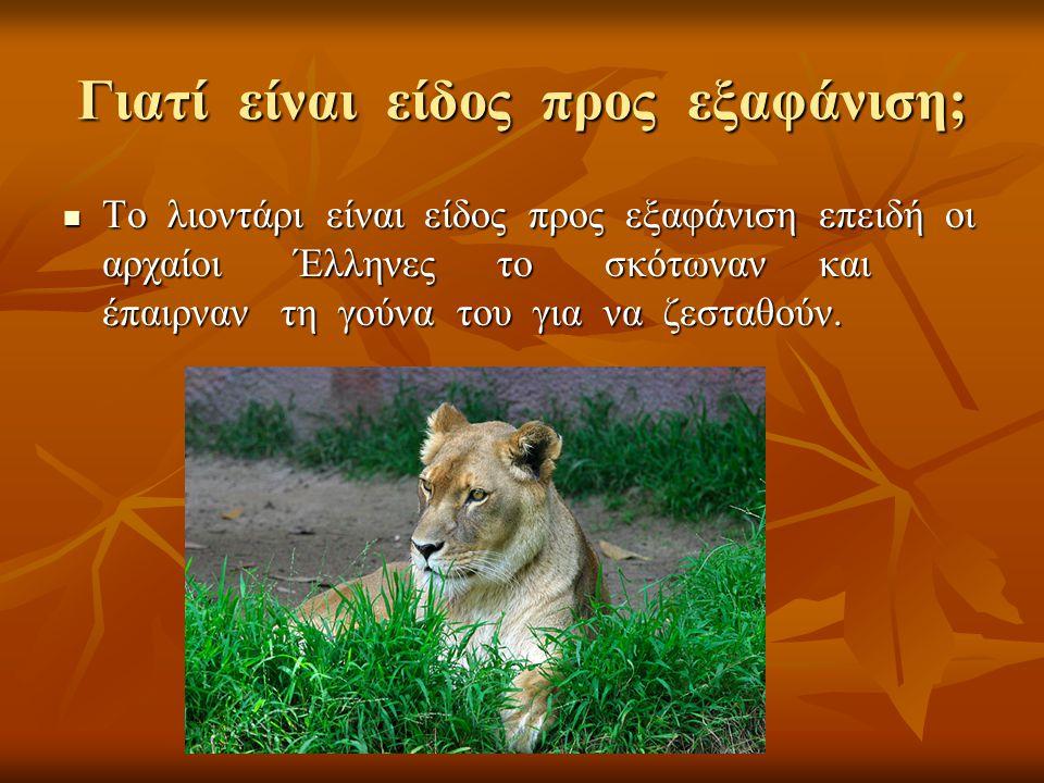 Γιατί είναι είδος προς εξαφάνιση; Το λιοντάρι είναι είδος προς εξαφάνιση επειδή οι αρχαίοι Έλληνες το σκότωναν και έπαιρναν τη γούνα του για να ζεσταθ