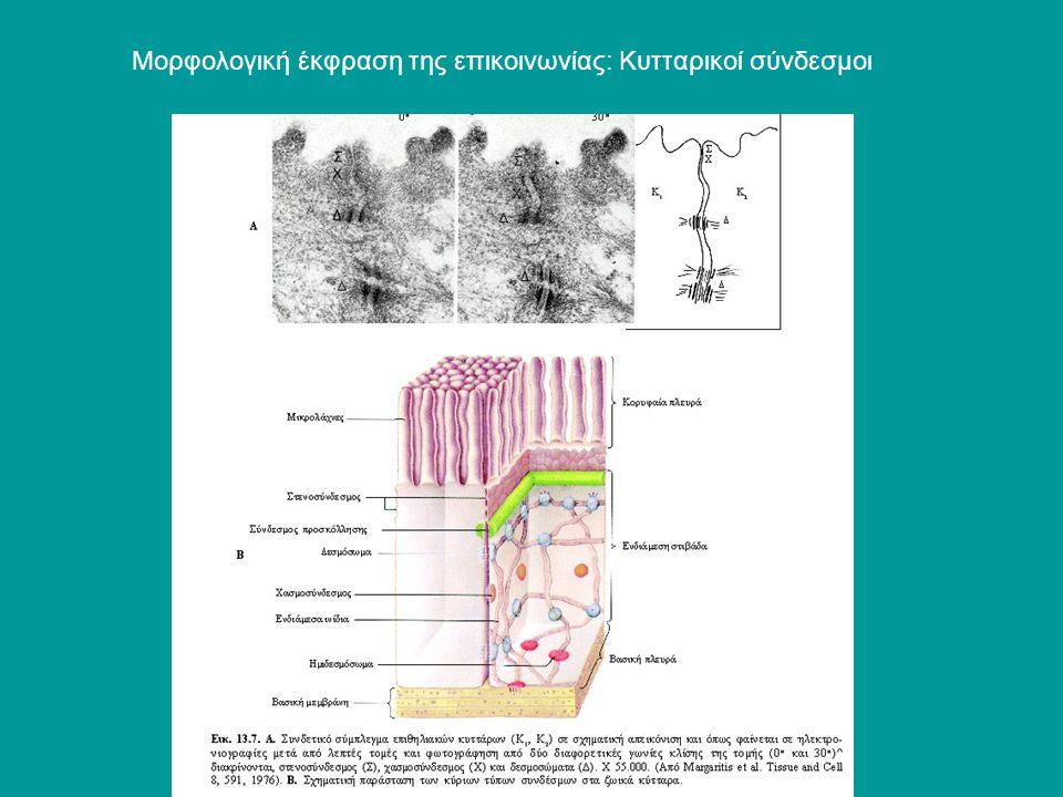 Μορφολογική έκφραση της επικοινωνίας: Κυτταρικοί σύνδεσμοι