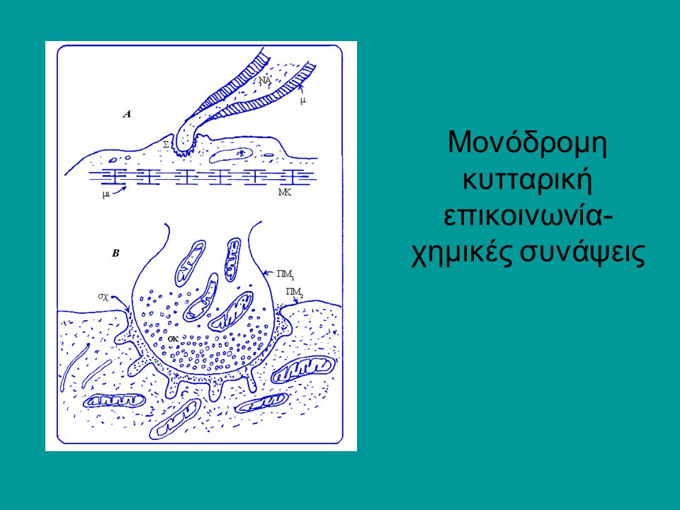 Μονόδρομη κυτταρική επικοινωνία- χημικές συνάψεις
