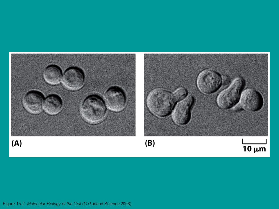 Figure 15-3a Molecular Biology of the Cell (© Garland Science 2008)