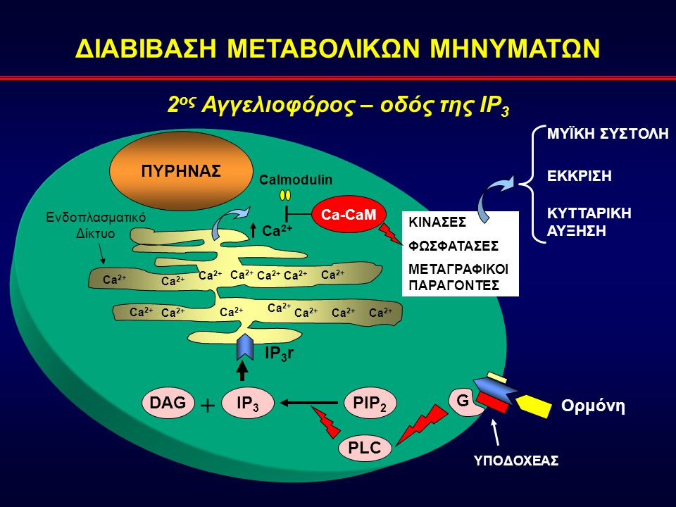 ΔΙΑΒΙΒΑΣΗ ΜΕΤΑΒΟΛΙΚΩΝ ΜΗΝΥΜΑΤΩΝ PLC G PIP 2 DAGIP 3 + IP 3 r Ca 2+ ΠΥΡΗΝΑΣ Ενδοπλασματικό Δίκτυο Ορμόνη Calmodulin Ca-CaM ΚΙΝΑΣΕΣ ΦΩΣΦΑΤΑΣΕΣ ΜΕΤΑΓΡΑΦΙΚΟΙ ΠΑΡΑΓΟΝΤΕΣ ΕΚΚΡΙΣΗ ΜΥΪΚΗ ΣΥΣΤΟΛΗ ΚΥΤΤΑΡΙΚΗ ΑΥΞΗΣΗ ΥΠΟΔΟΧΕΑΣ 2 ος Αγγελιοφόρος – οδός της IP 3