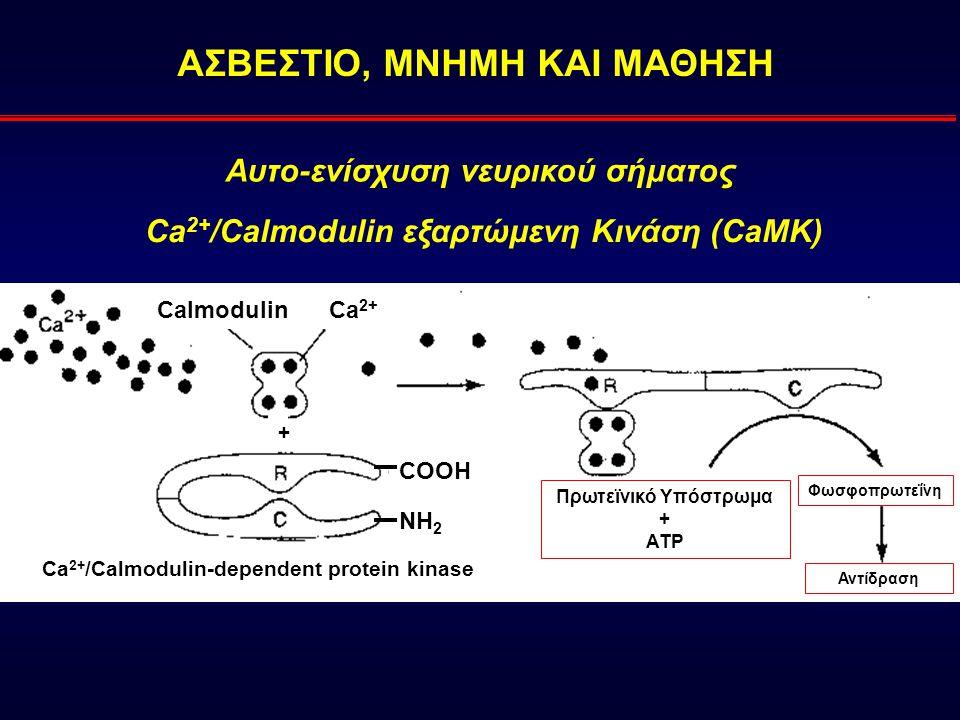 ΑΣΒΕΣΤΙΟ, ΜΝΗΜΗ ΚΑΙ ΜΑΘΗΣΗ CalmodulinCa 2+ Πρωτεϊνικό Υπόστρωμα + ATP + Ca 2+ /Calmodulin-dependent protein kinase COOH NH 2 Φωσφοπρωτεΐνη Αντίδραση Ca 2+ /Calmodulin εξαρτώμενη Κινάση (CaMK) Αυτο-ενίσχυση νευρικού σήματος