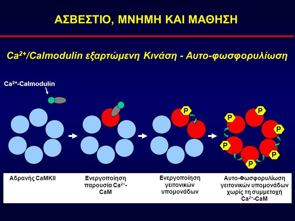 ΑΣΒΕΣΤΙΟ, ΜΝΗΜΗ ΚΑΙ ΜΑΘΗΣΗ Ca 2+ -Calmodulin Αδρανής CaΜΚΙΙ Ca 2+ /Calmodulin εξαρτώμενη Κινάση - Αυτο-φωσφορυλίωση PP P P P P P Ενεργοποίηση παρουσία Ca 2+ - CaM Ενεργοποίηση γειτονικών υπομονάδων Αυτο-Φωσφορυλίωση γειτονικών υπομονάδων χωρίς τη συμμετοχή Ca 2+ -CaM