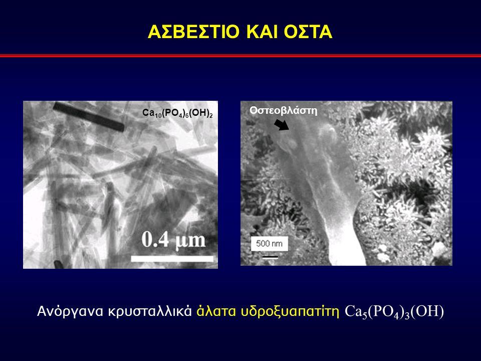 Ανόργανα κρυσταλλικά άλατα υδροξυαπατίτη Ca 5 (PO 4 ) 3 (OH) Ca 10 (PO 4 ) 6 (OH) 2 ΑΣΒΕΣΤΙΟ ΚΑΙ ΟΣΤΑ Οστεοβλάστη