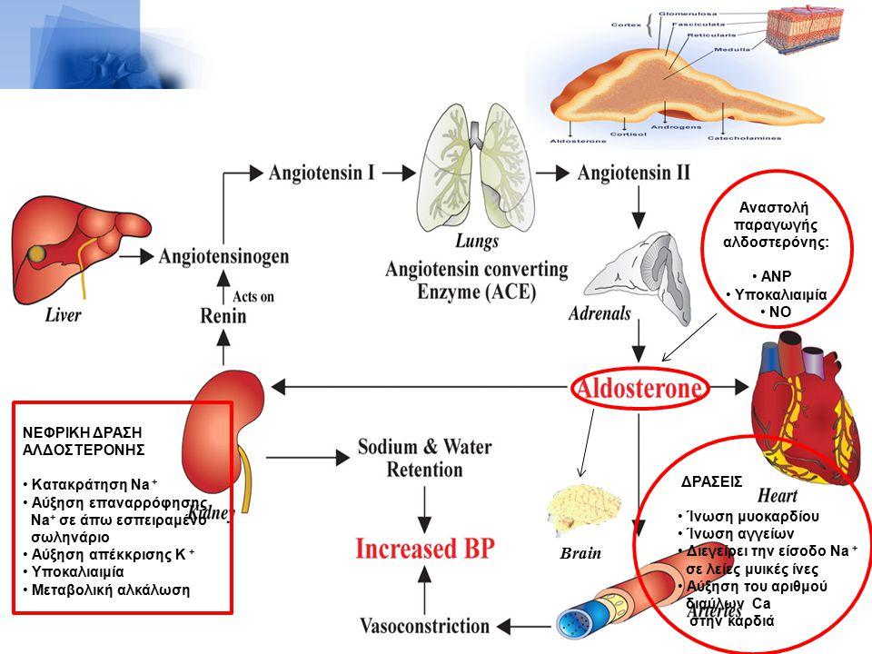Brain ΝΕΦΡΙΚΗ ΔΡΑΣΗ ΑΛΔΟΣΤΕΡΟΝΗΣ Κατακράτηση Na + Αύξηση επαναρρόφησης Na + σε άπω εσπειραμένο σωληνάριο Αύξηση απέκκρισης Κ + Υποκαλιαιμία Μεταβολική αλκάλωση Aναστολή παραγωγής αλδοστερόνης: ANP Υποκαλιαιμία NO ΔΡΑΣΕΙΣ Ίνωση μυοκαρδίου Ίνωση αγγείων Διεγείρει την είσοδο Na + σε λείες μυικές ίνες Αύξηση του αριθμού διαύλων Ca στην καρδιά