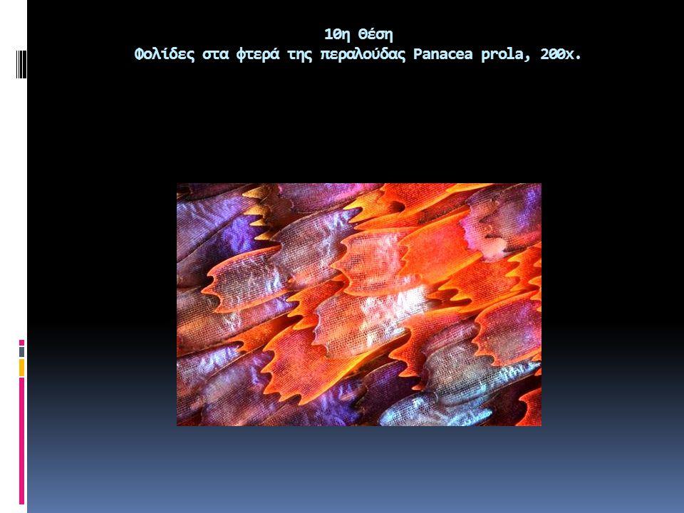 10η Θέση Φολίδες στα φτερά της περαλούδας Panacea prola, 200x.
