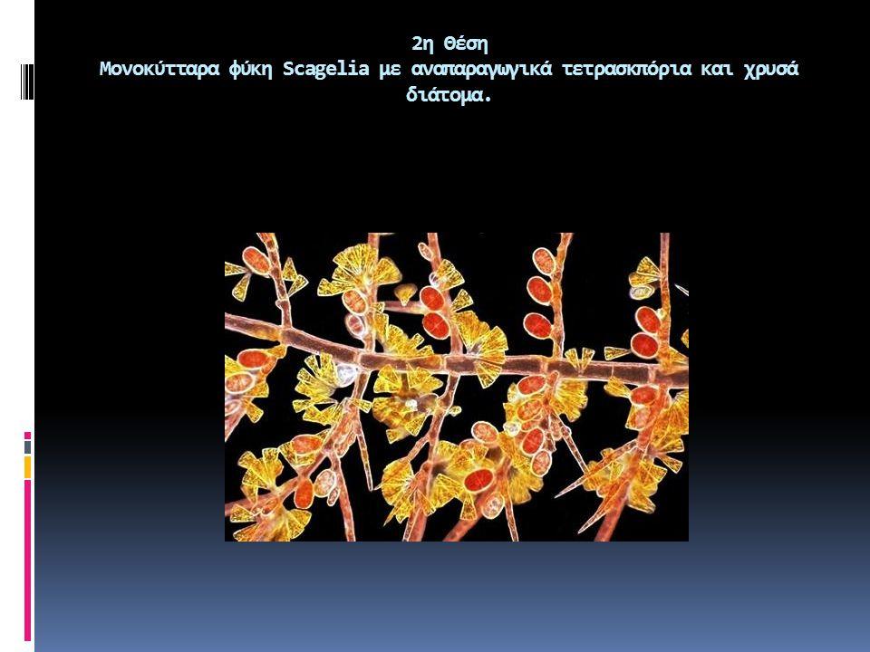 2η Θέση Μονοκύτταρα φύκη Scagelia με αναπαραγωγικά τετρασκπόρια και χρυσά διάτομα.