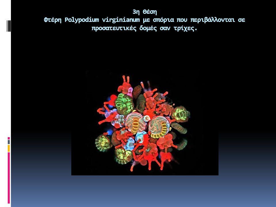 4η θέση Δαγκάνα του αμφίποδου καρκινοειδούς Phronima sp.