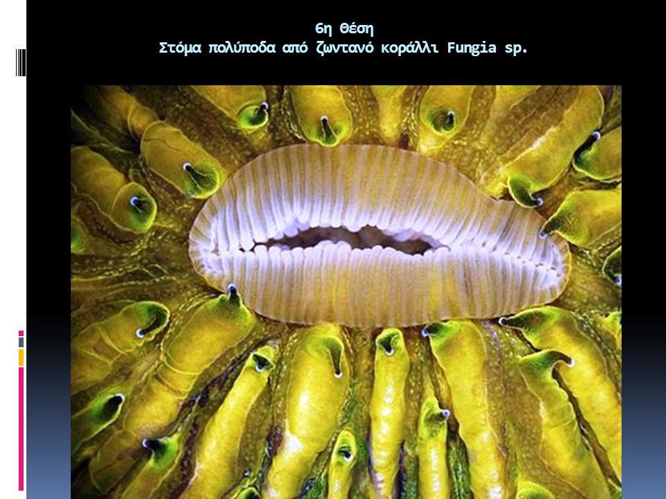 6η Θέση Στόμα πολύποδα από ζωντανό κοράλλι Fungia sp.