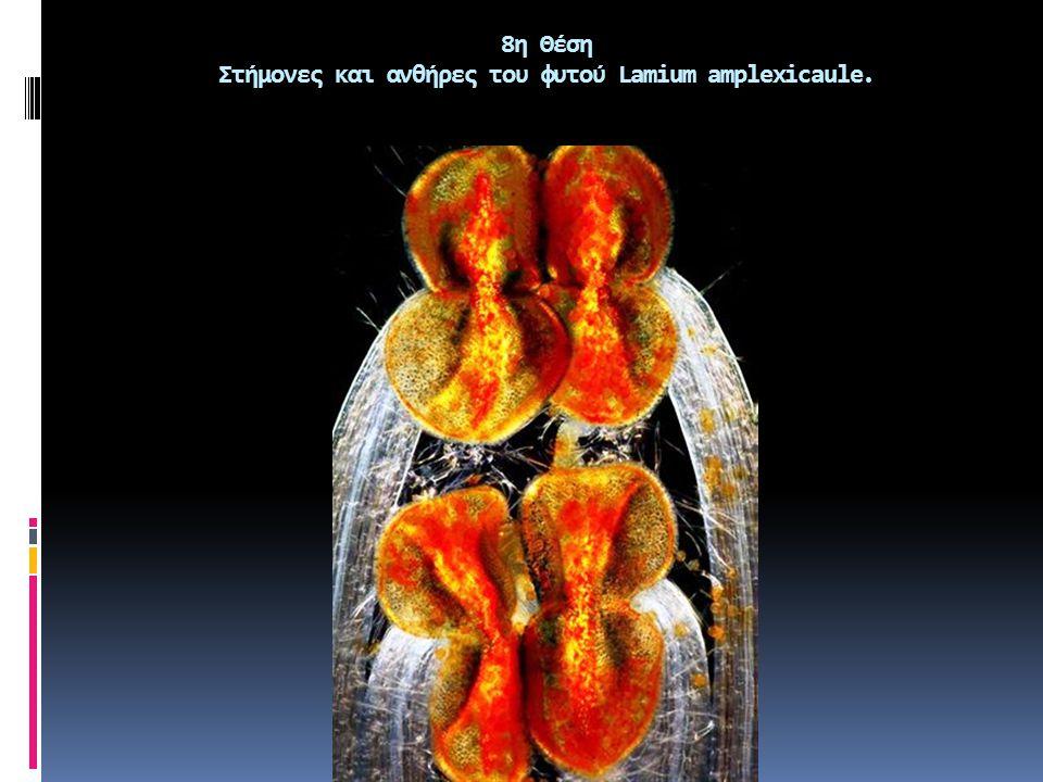 9η θέση Σπόρος Delphinium.