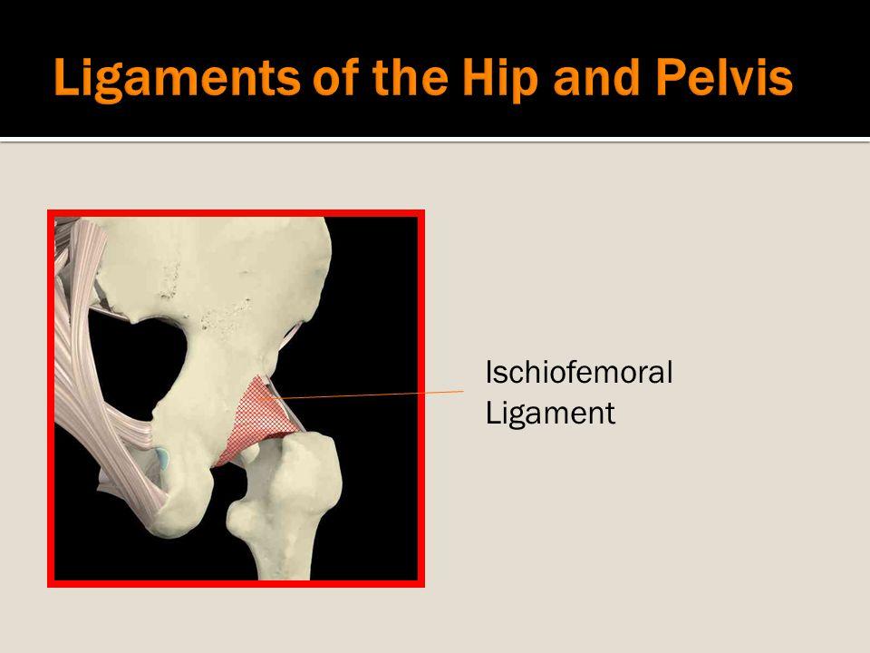 Ischiofemoral Ligament
