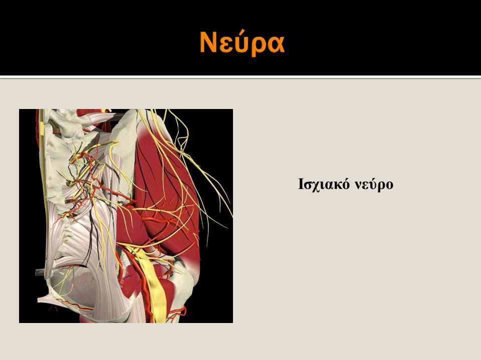 Ισχιακό νεύρο