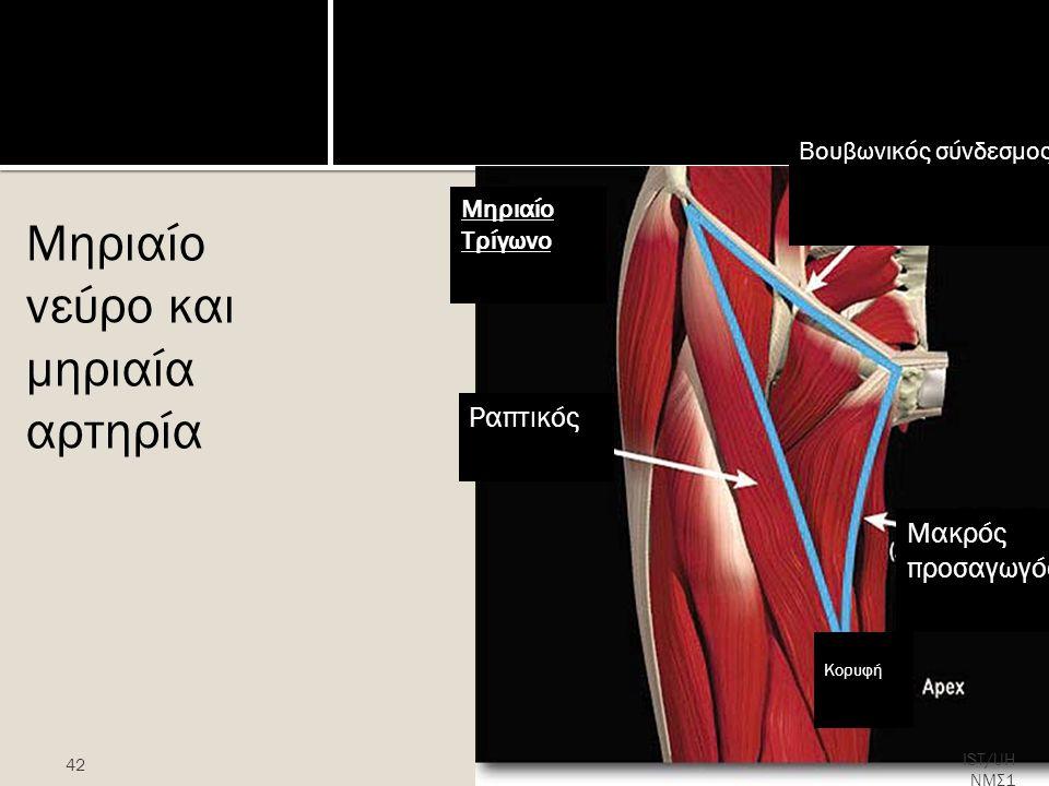 Μηριαίο Τρίγωνο Μηριαίο νεύρο και μηριαία αρτηρία 42 IST/UH ΝΜΣ1 Ραπτικός Μηριαίο Τρίγωνο Μακρός προσαγωγός Κορυφή Βουβωνικός σύνδεσμος