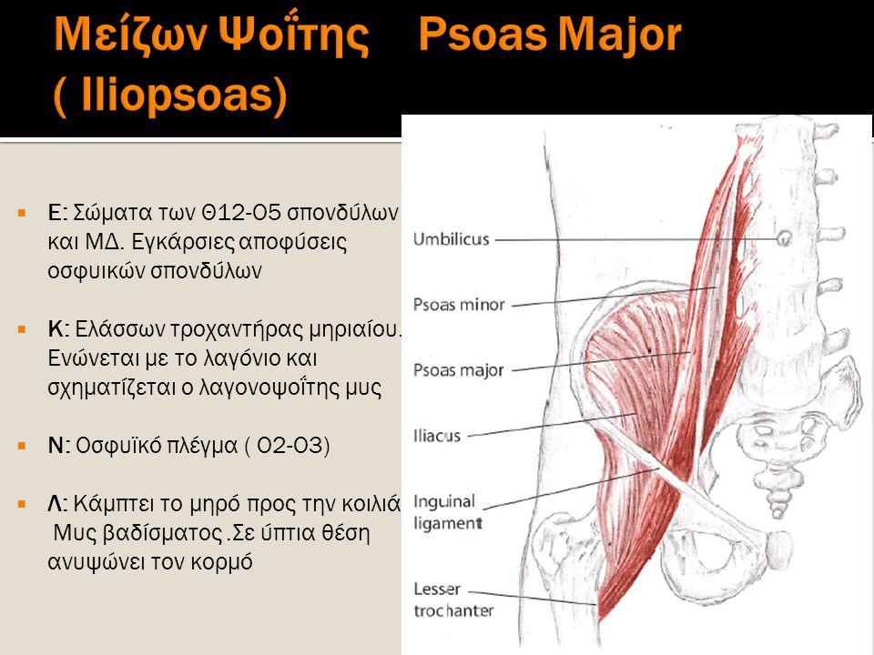  Ε: Σώματα των Θ12-Ο5 σπονδύλων και ΜΔ. Εγκάρσιες αποφύσεις οσφυικών σπονδύλων  Κ: Ελάσσων τροχαντήρας μηριαίου. Ενώνεται με το λαγόνιο και σχηματίζ