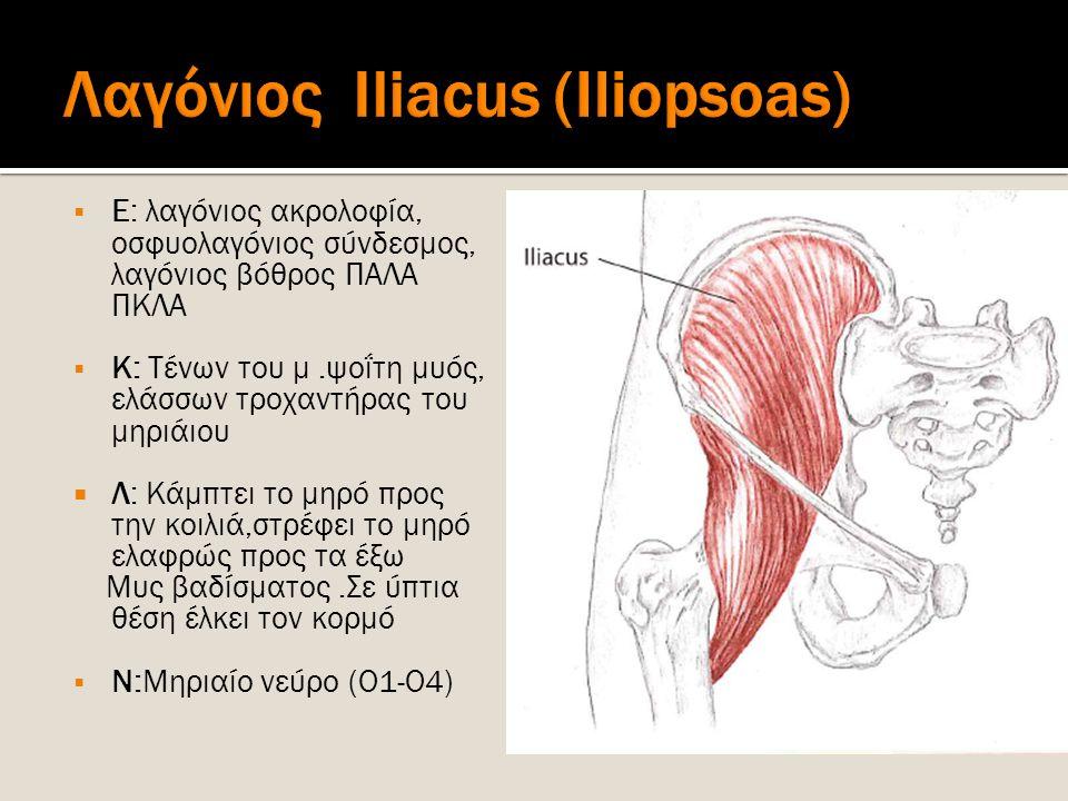  Ε: λαγόνιος ακρολοφία, οσφυολαγόνιος σύνδεσμος, λαγόνιος βόθρος ΠΑΛΑ ΠΚΛΑ  Κ: Τένων του μ.ψοΐτη μυός, ελάσσων τροχαντήρας του μηριάιου  Λ: Κάμπτει