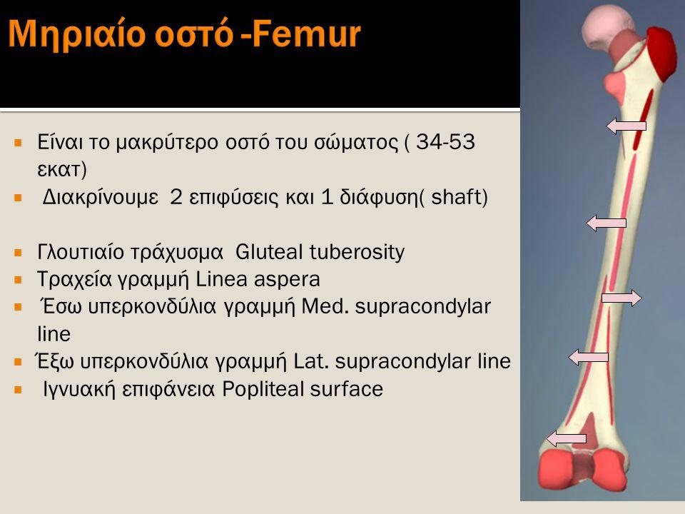  Είναι το μακρύτερο οστό του σώματος ( 34-53 εκατ)  Διακρίνουμε 2 επιφύσεις και 1 διάφυση( shaft)  Γλουτιαίο τράχυσμα Gluteal tuberosity  Τραχεία