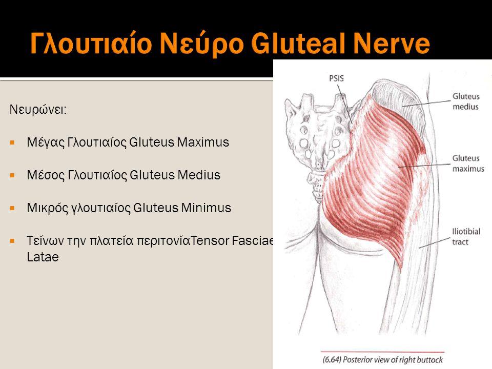 Νευρώνει:  Μέγας Γλουτιαίος Gluteus Maximus  Μέσος Γλουτιαίος Gluteus Medius  Μικρός γλουτιαίος Gluteus Minimus  Τείνων την πλατεία περιτονίαTenso