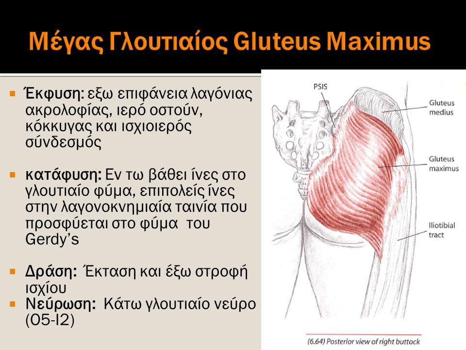  Έκφυση: εξω επιφάνεια λαγόνιας ακρολοφίας, ιερό οστούν, κόκκυγας και ισχιοιερός σύνδεσμός  κατάφυση: Εν τω βάθει ίνες στο γλουτιαίο φύμα, επιπολείς