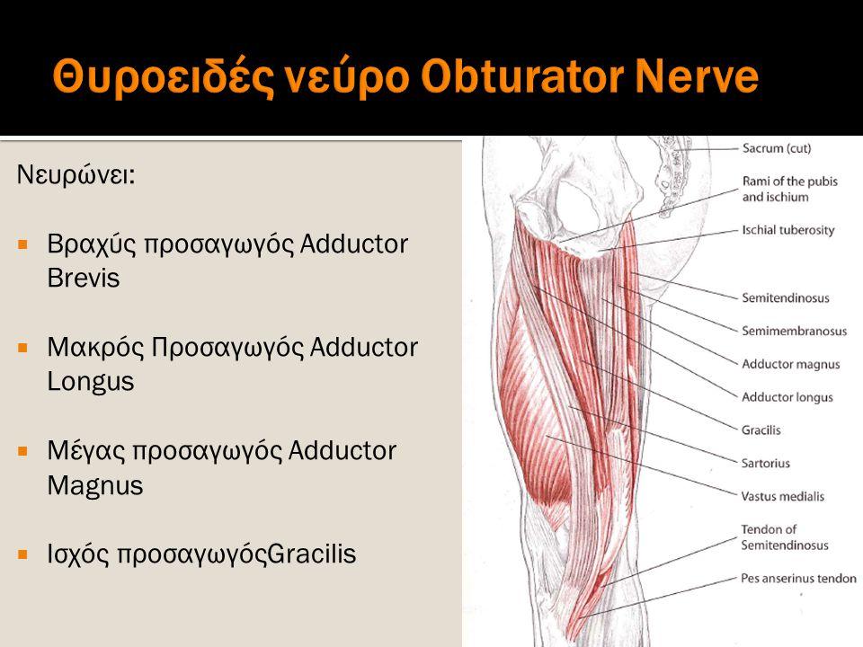 Νευρώνει:  Βραχύς προσαγωγός Adductor Brevis  Μακρός Προσαγωγός Adductor Longus  Μέγας προσαγωγός Adductor Magnus  Ισχός προσαγωγόςGracilis