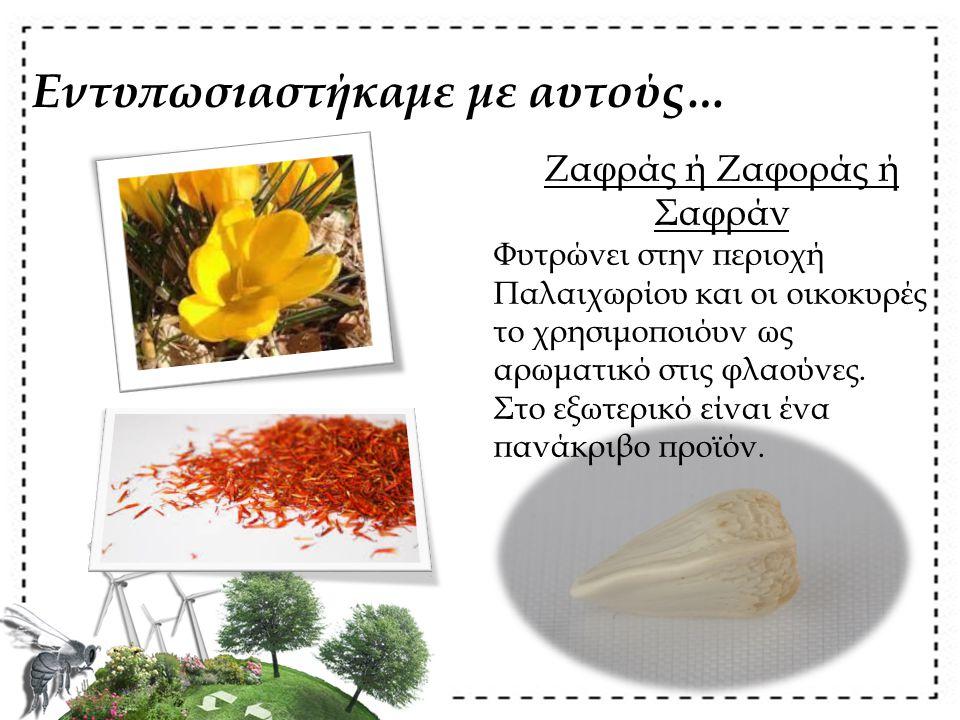 Εντυπωσιαστήκαμε με αυτούς… Ζαφράς ή Ζαφοράς ή Σαφράν Φυτρώνει στην περιοχή Παλαιχωρίου και οι οικοκυρές το χρησιμοποιόυν ως αρωματικό στις φλαούνες.