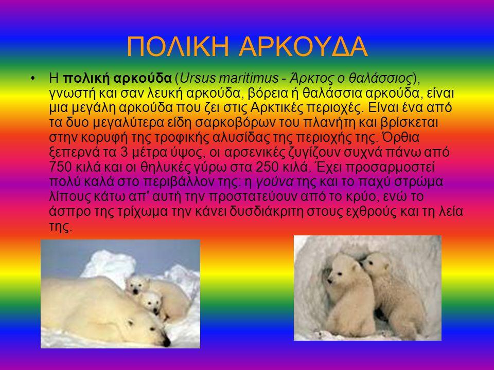ΠΟΛΙΚΗ ΑΡΚΟΥΔΑ Η πολική αρκούδα (Ursus maritimus - Άρκτος ο θαλάσσιος), γνωστή και σαν λευκή αρκούδα, βόρεια ή θαλάσσια αρκούδα, είναι μια μεγάλη αρκο