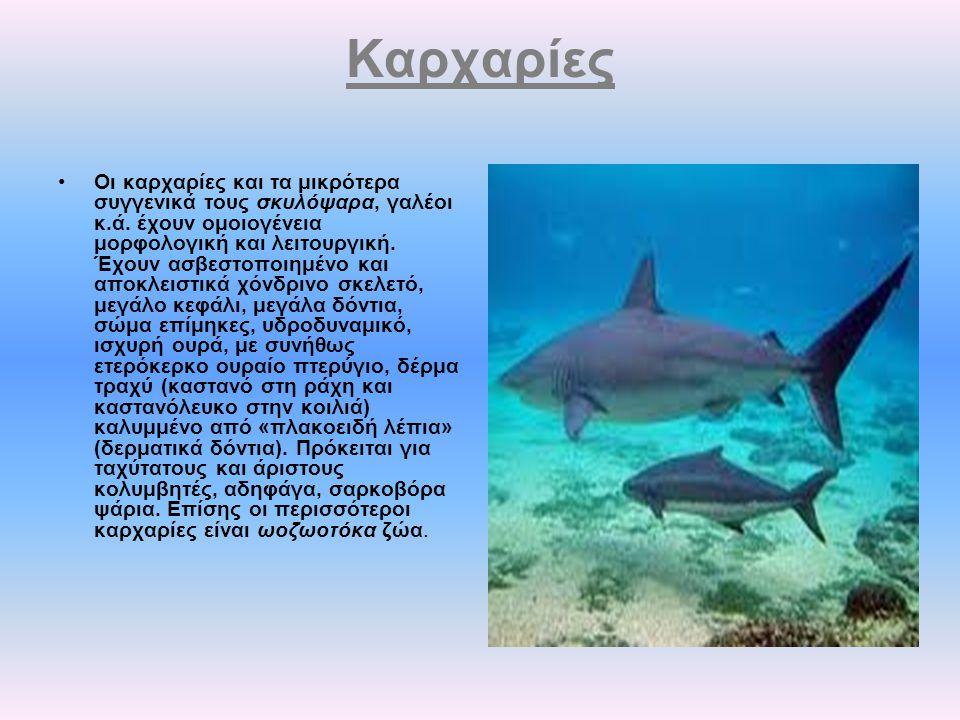 Καρχαρίες Οι καρχαρίες και τα μικρότερα συγγενικά τους σκυλόψαρα, γαλέοι κ.ά. έχουν ομοιογένεια μορφολογική και λειτουργική. Έχουν ασβεστοποιημένο και