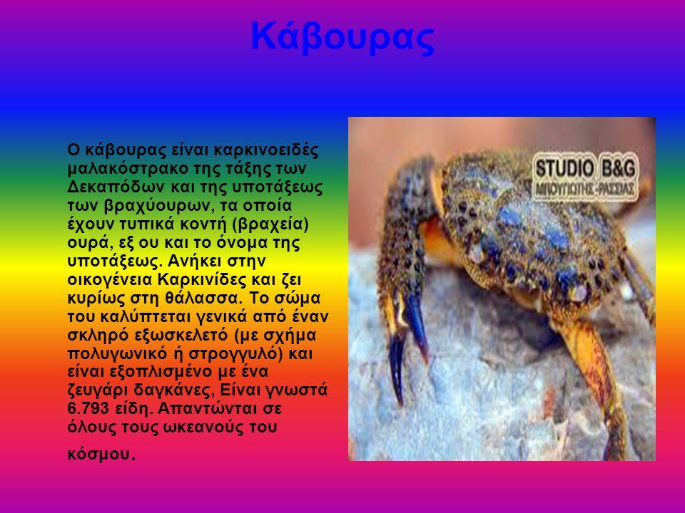 Αστακός Ο πιο κοινός, σπουδαιότερος αλλά και οικονομικότερος εξ αυτών είναι ο αστακός χόμαρος (homard), γνωστότερος στην Ελλάδα ως θαλασσινός αστακός ή καραβιδομάνα ή καραβιδαστακός , είναι αυτός που φέρει δύο μεγάλες δαγκάνες, τον οποίο και θεωρούν οι Ευρωπαίοι ως γνήσιο αστακό.