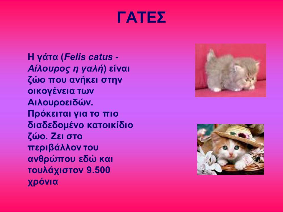 ΓΑΤΕΣ Η γάτα (Felis catus - Αίλουρος η γαλή) είναι ζώο που ανήκει στην οικογένεια των Αιλουροειδών. Πρόκειται για το πιο διαδεδομένο κατοικίδιο ζώο. Ζ