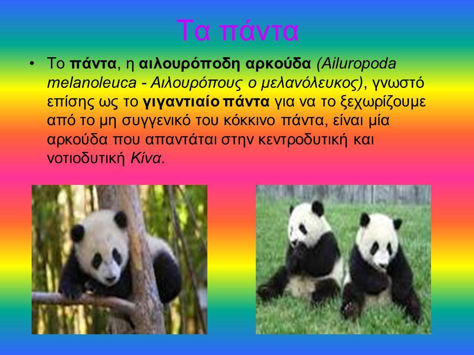 Τα πάντα Το πάντα, η αιλουρόποδη αρκούδα (Ailuropoda melanoleuca - Αιλουρόπους ο μελανόλευκος), γνωστό επίσης ως το γιγαντιαίο πάντα για να το ξεχωρίζ