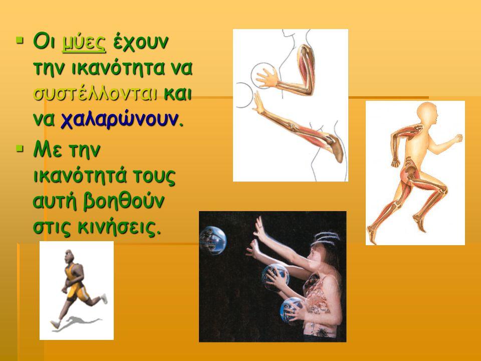  Οι μύες έχουν την ικανότητα να συστέλλονται και να χαλαρώνουν. μύες  Με την ικανότητά τους αυτή βοηθούν στις κινήσεις.