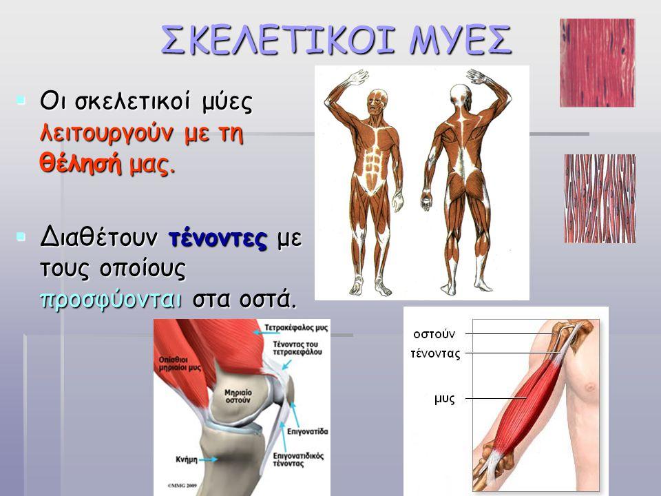 ΣΚΕΛΕΤΙΚΟΙ ΜΥΕΣ  Οι σκελετικοί μύες λειτουργούν με τη θέλησή μας.  Διαθέτουν τένοντες με τους οποίους προσφύονται στα οστά.