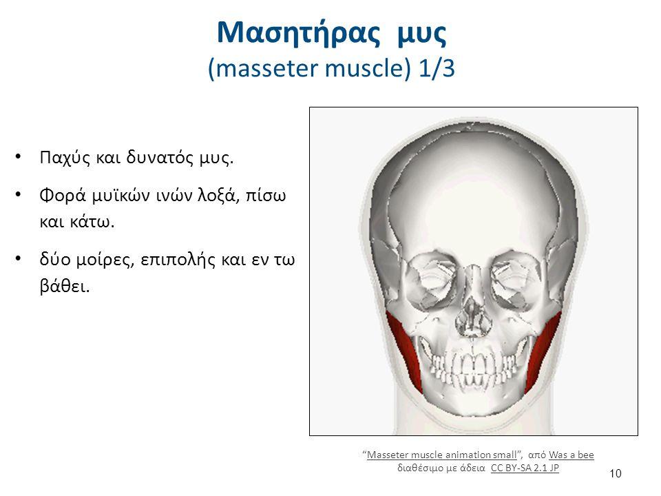 Μασητήρας μυς (masseter muscle) 1/3 Παχύς και δυνατός μυς.