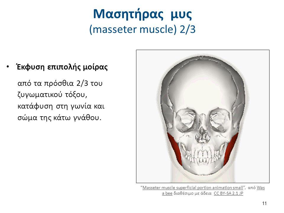 Μασητήρας μυς (masseter muscle) 2/3 Έκφυση επιπολής μοίρας από τα πρόσθια 2/3 του ζυγωματικού τόξου, κατάφυση στη γωνία και σώμα της κάτω γνάθου.