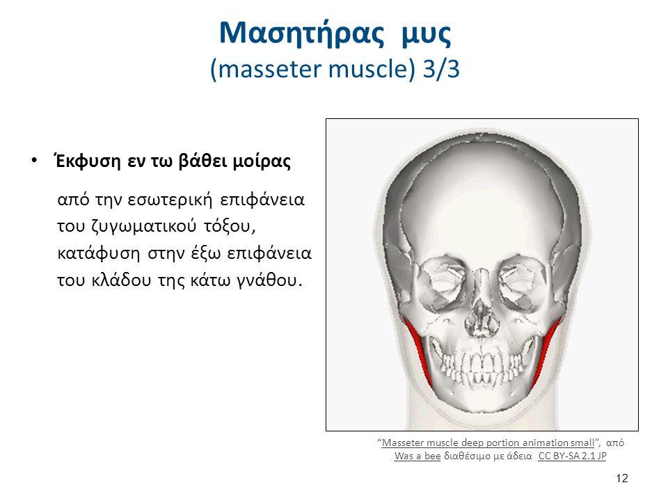 Μασητήρας μυς (masseter muscle) 3/3 Έκφυση εν τω βάθει μοίρας από την εσωτερική επιφάνεια του ζυγωματικού τόξου, κατάφυση στην έξω επιφάνεια του κλάδου της κάτω γνάθου.