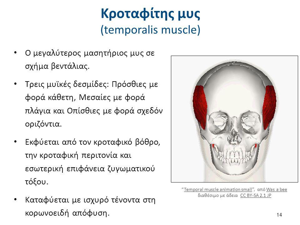 Κροταφίτης μυς (temporalis muscle) Ο μεγαλύτερος μασητήριος μυς σε σχήμα βεντάλιας.