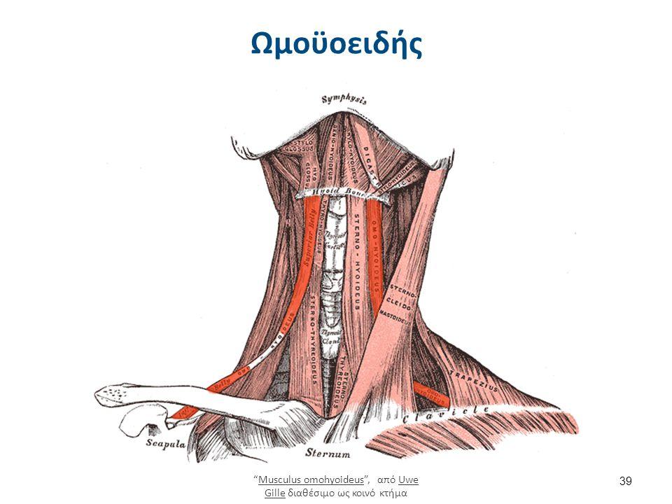 39 Ωμοϋοειδής Musculus omohyoideus , από Uwe Gille διαθέσιμο ως κοινό κτήμαMusculus omohyoideusUwe Gille