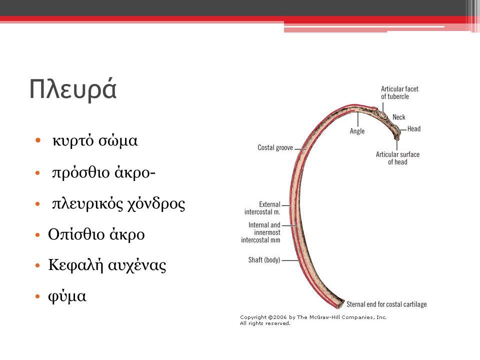 Πλευρά κυρτό σώμα πρόσθιο άκρο- πλευρικός χόνδρος Οπίσθιο άκρο Κεφαλή αυχένας φύμα