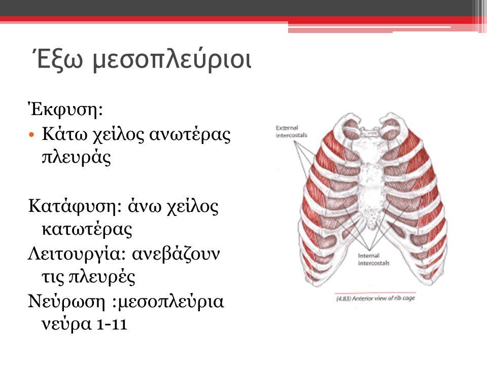 Έξω μεσοπλεύριοι Έκφυση: Κάτω χείλος ανωτέρας πλευράς Κατάφυση: άνω χείλος κατωτέρας Λειτουργία: ανεβάζουν τις πλευρές Νεύρωση :μεσοπλεύρια νεύρα 1-11