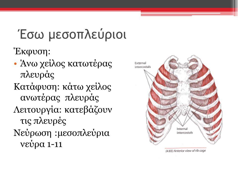Έσω μεσοπλεύριοι Έκφυση: Άνω χείλος κατωτέρας πλευράς Κατάφυση: κάτω χείλος ανωτέρας πλευράς Λειτουργία: κατεβάζουν τις πλευρές Νεύρωση :μεσοπλεύρια ν