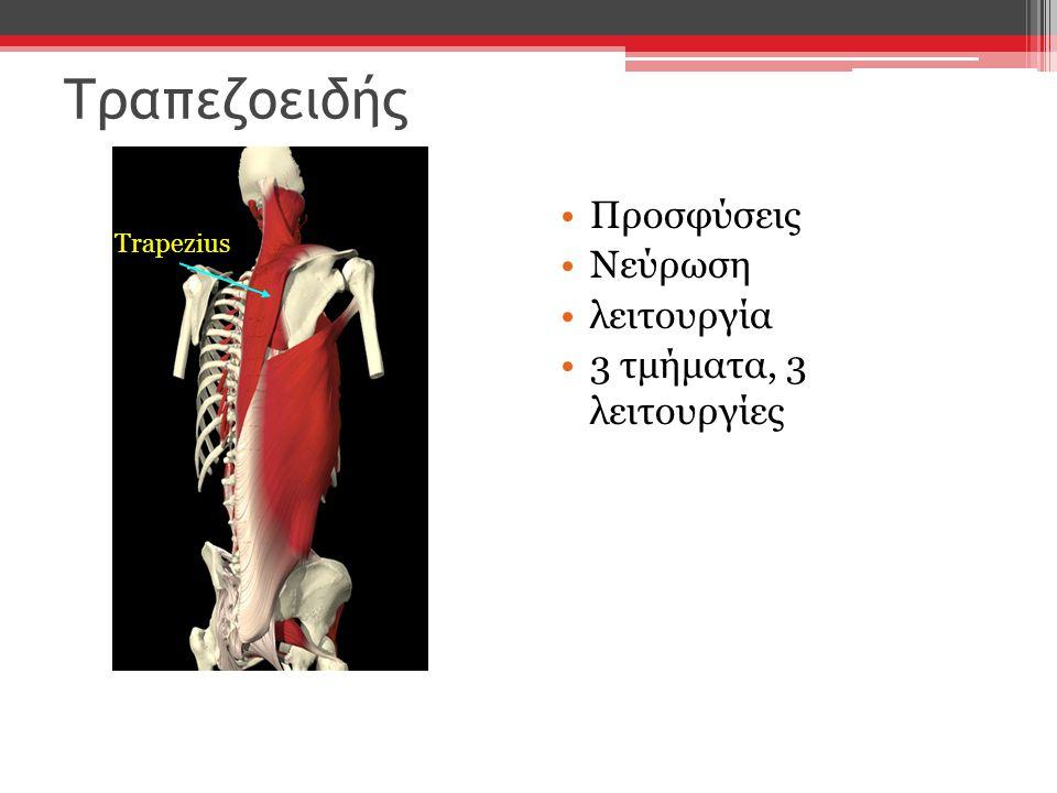 Τραπεζοειδής Προσφύσεις Νεύρωση λειτουργία 3 τμήματα, 3 λειτουργίες Trapezius