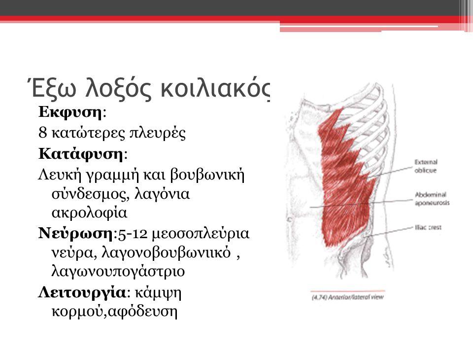 Έξω λοξός κοιλιακός Εκφυση: 8 κατώτερες πλευρές Κατάφυση: Λευκή γραμμή και βουβωνική σύνδεσμος, λαγόνια ακρολοφία Νεύρωση:5-12 μεοσοπλεύρια νεύρα, λαγ