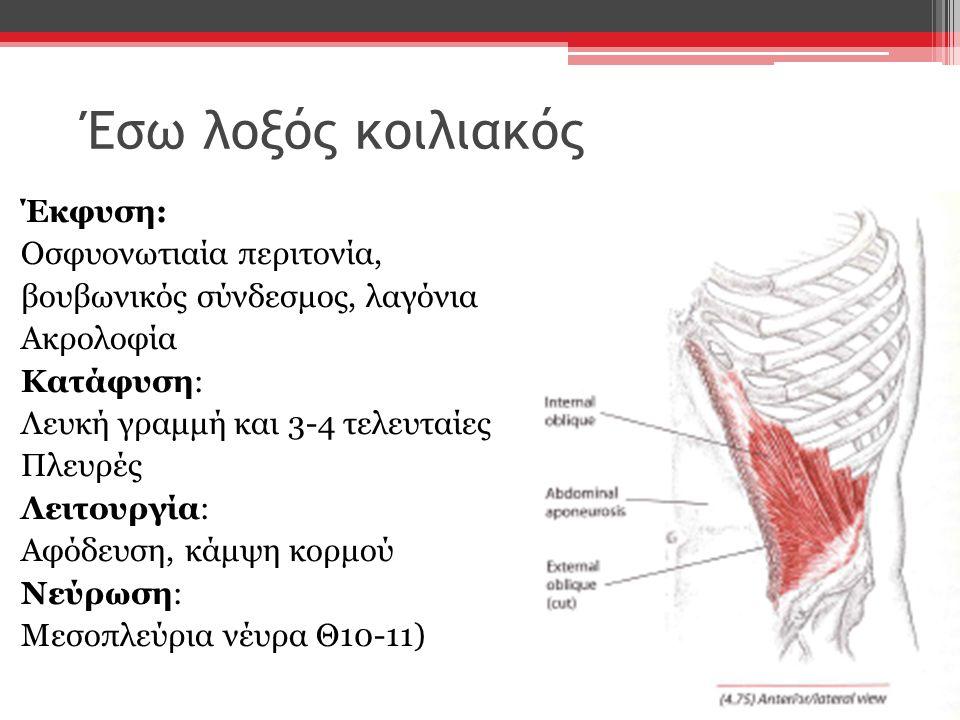 Έσω λοξός κοιλιακός Έκφυση: Οσφυονωτιαία περιτονία, βουβωνικός σύνδεσμος, λαγόνια Ακρολοφία Κατάφυση: Λευκή γραμμή και 3-4 τελευταίες Πλευρές Λειτουργ