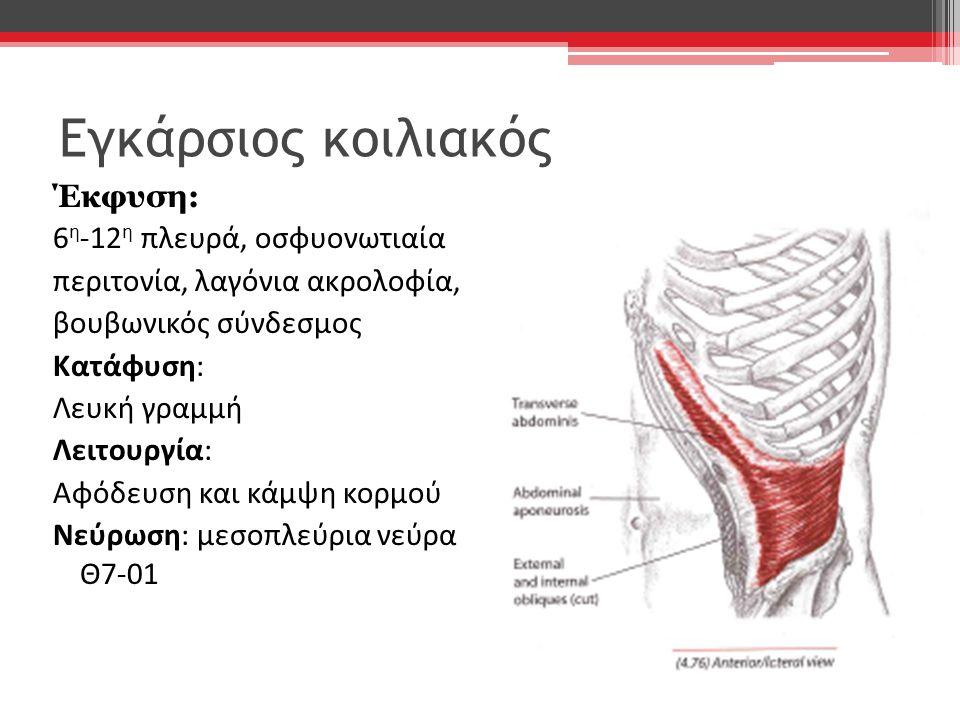 Εγκάρσιος κοιλιακός Έκφυση: 6 η -12 η πλευρά, οσφυονωτιαία περιτονία, λαγόνια ακρολοφία, βουβωνικός σύνδεσμος Κατάφυση: Λευκή γραμμή Λειτουργία: Αφόδε