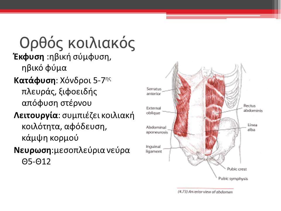 Ορθός κοιλιακός Έκφυση :ηβική σύμφυση, ηβικό φύμα Κατάφυση: Χόνδροι 5-7 ης πλευράς, ξιφοειδής απόφυση στέρνου Λειτουργία: συμπιέζει κοιλιακή κοιλότητα