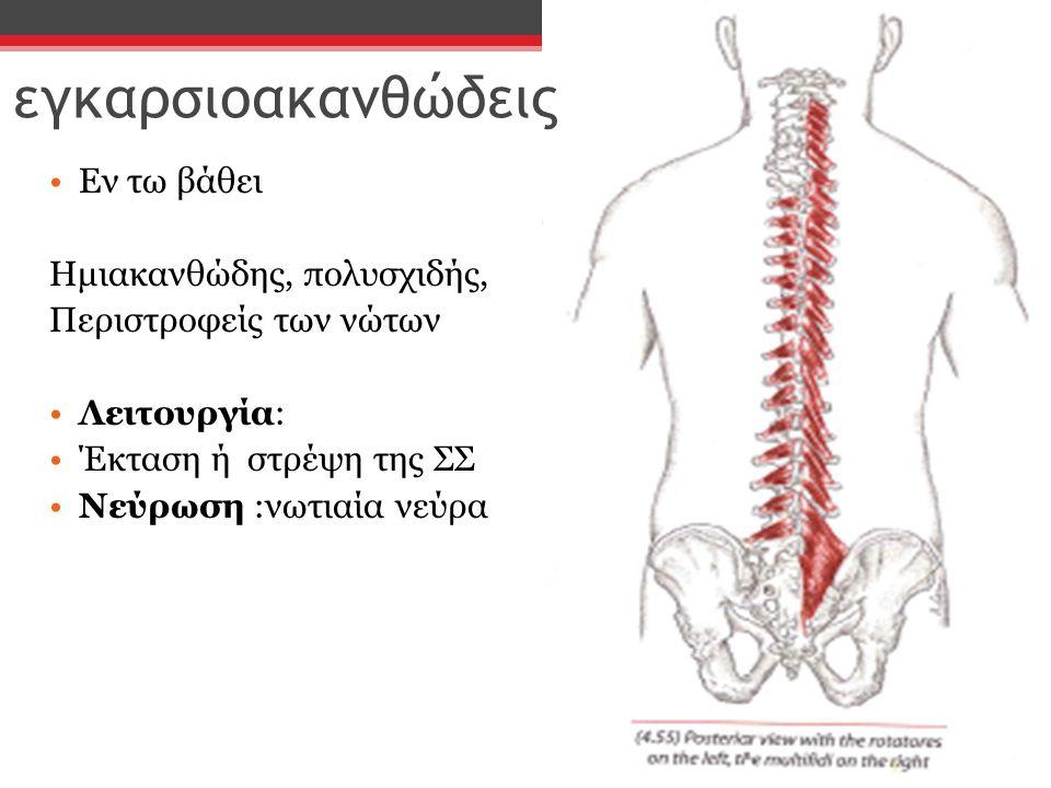 εγκαρσιοακανθώδεις Εν τω βάθει Ημιακανθώδης, πολυσχιδής, Περιστροφείς των νώτων Λειτουργία: Έκταση ή στρέψη της ΣΣ Νεύρωση :νωτιαία νεύρα