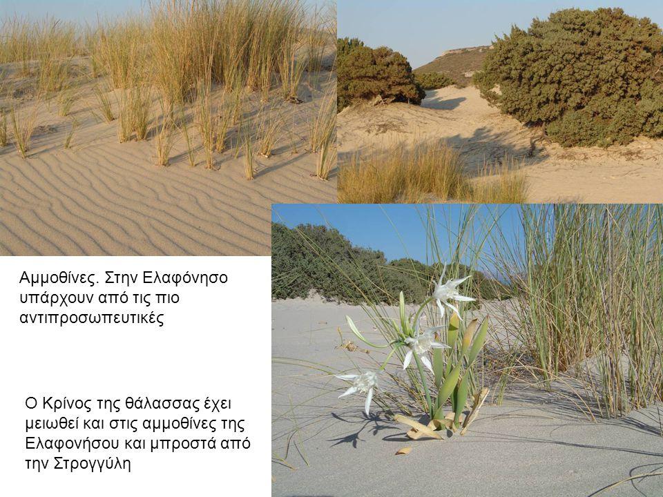 Αμμοθίνες στην Ελαφόνησο. Το φυτό αμμόφιλα συγκρατεί την άμμο.
