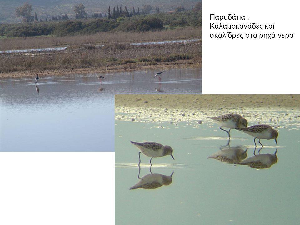 Παρυδάτια : Καλαμοκανάδες και σκαλίδρες στα ρηχά νερά