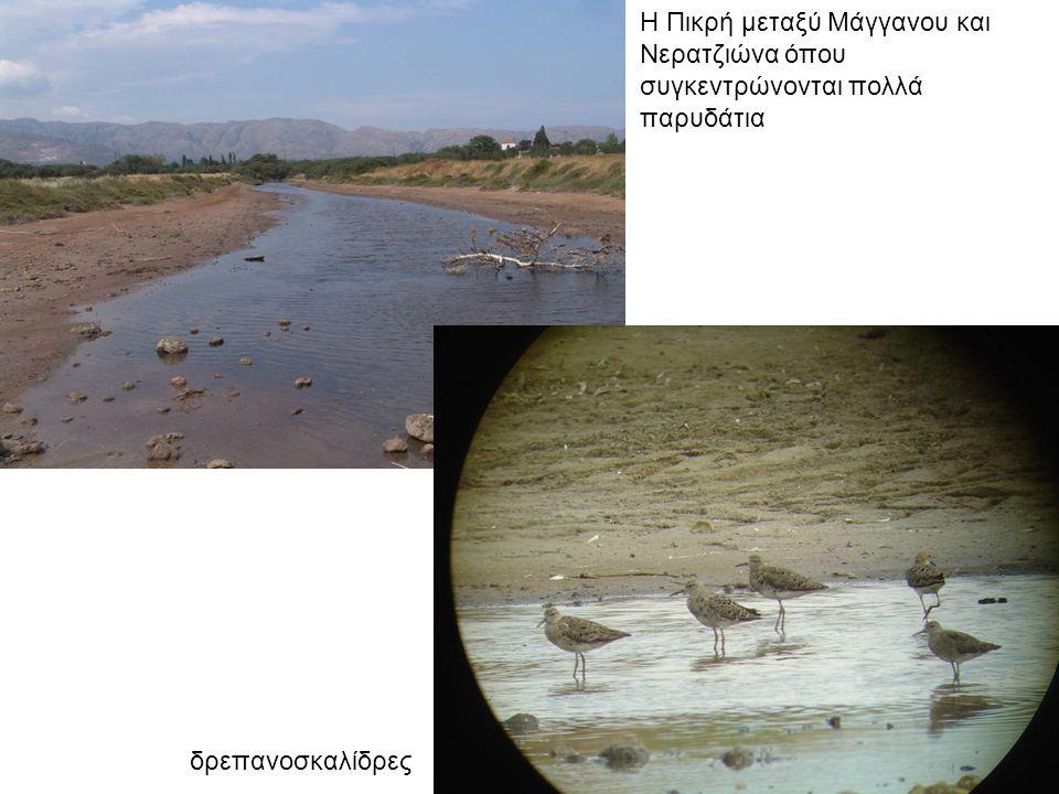 Η εκβολή του ρέματος Χάρακα στον Νερατζιώνα Λευκοτσικνιάδες
