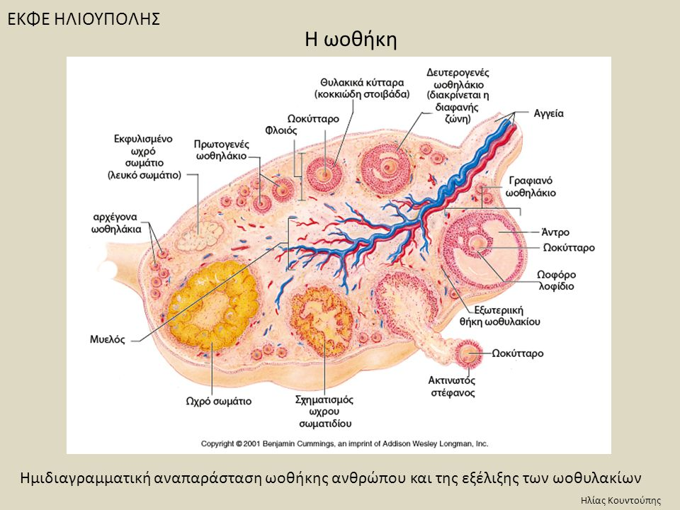 ΕΚΦΕ ΗΛΙΟΥΠΟΛΗΣ Ημιδιαγραμματική αναπαράσταση ωοθήκης ανθρώπου και της εξέλιξης των ωοθυλακίων Ηλίας Κουντούπης H ωοθήκη