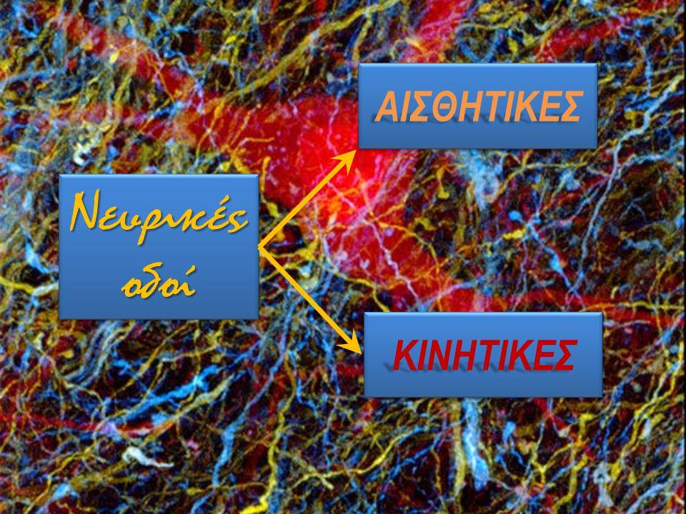 Νευρικές οδοί ΑΙΣΘΗΤΙΚΕΣΑΙΣΘΗΤΙΚΕΣ ΚΙΝΗΤΙΚΕΣΚΙΝΗΤΙΚΕΣ